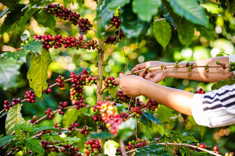 producción de café en México